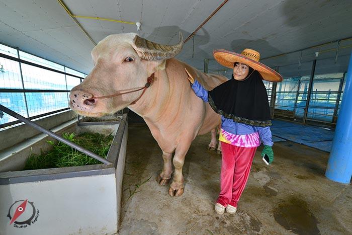 %e0%b8%9b%e0%b8%a3%e0%b8%b2%e0%b8%88%e0%b8%b5%e0%b8%99%e0%b8%9a%e0%b8%b8%e0%b8%a3%e0%b8%b5-buffalo-farm-1