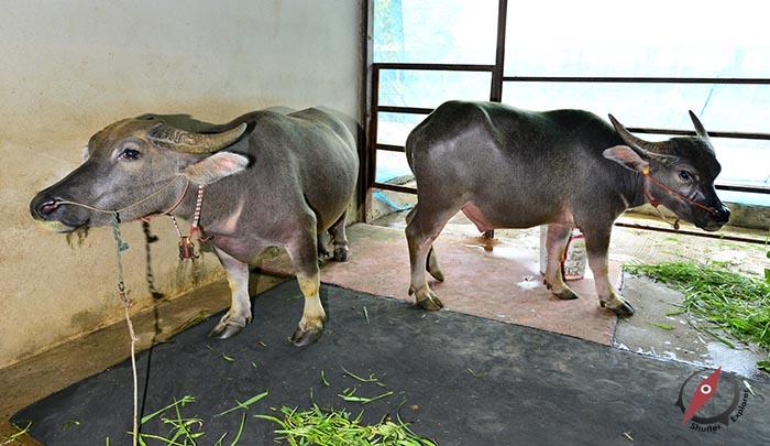 %e0%b8%9b%e0%b8%a3%e0%b8%b2%e0%b8%88%e0%b8%b5%e0%b8%99%e0%b8%9a%e0%b8%b8%e0%b8%a3%e0%b8%b5-buffalo-farm-3